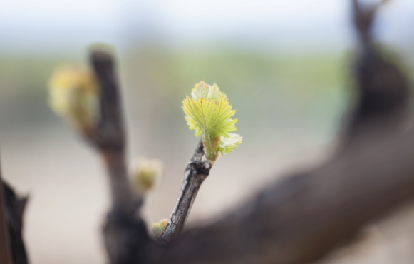 Bud break at Page Springs Cellars
